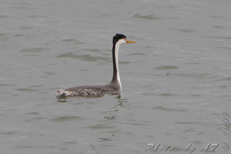 Clark's Grebe <br /> Smithville Lake