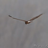 Northern Harrier <br /> Eagle Bluffs Conservation Area