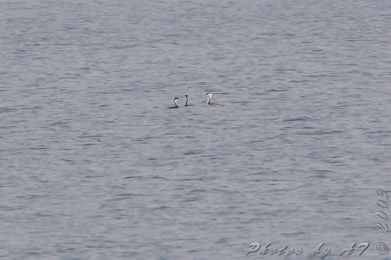 Western Grebes and Clark's Grebe on right  <br /> Smithville Lake