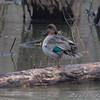Green-winged Teal <br /> Eagle Bluffs Conservation Area