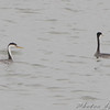Clark's and Western Grebe <br /> Smithville Lake