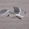 Franklin's Gull <br /> Smithville Lake <br /> 2009-11-14<br /> <br /> No. 201 on my Lifetime List of Birds <br /> Photographed in Missouri