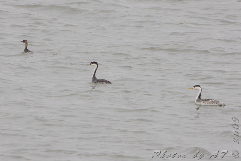 Pied-billed, Western and Clark's Grebe <br /> Smithville Lake