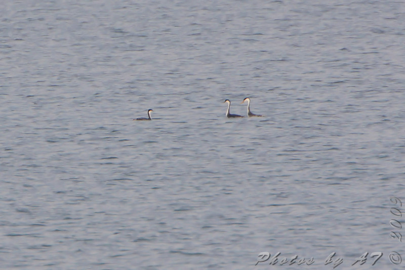 """Clark's Grebes with Western Grebes on right   <br> One of the first sightings Friday afternoon way up lake.  <br> Smithville Lake  <br> 2009-11-13 <br>  <br> <span style=""""color:red"""">*** Missouri's 5th state record ***</span> <br> Clark's Grebe is No. 272 on my Lifetime  <br> List of Bird Species Photographed in Missouri  <br>"""