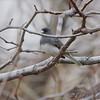 Dark-eyed Junco <br /> Smithville Lake