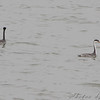 Western and Clark's Grebe <br /> Smithville Lake