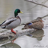 Mallards <br /> Eagle Bluffs Conservation Area
