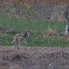 Coyote <br /> Bradford farms