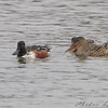 Northern Shovelers <br /> Eagle Bluffs Conservation Area