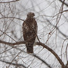 Red-tailed Hawk <br /> Eagle Bluffs Conservation Area