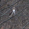 Red-tailed Hawk <br /> Along hwy 70 outside KC