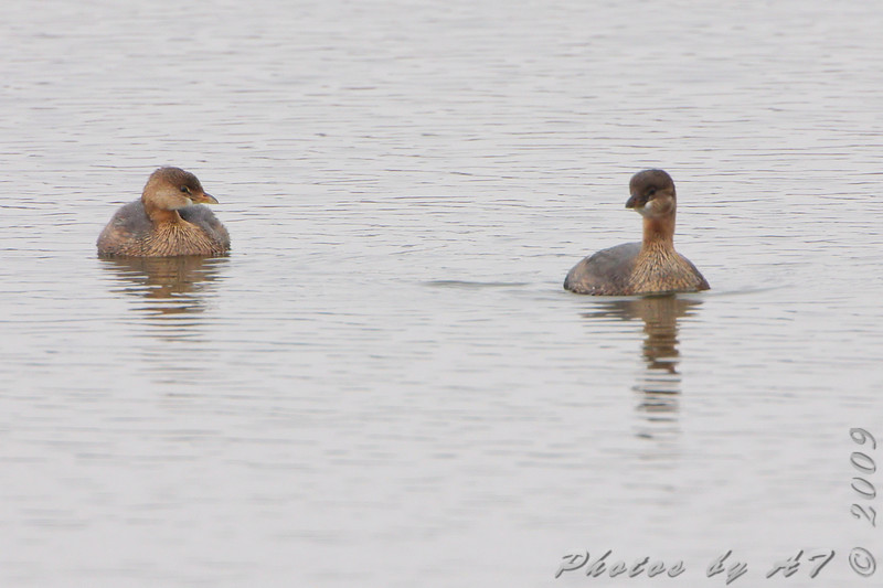 Pied-billed Grebe <br /> Eagle Bluffs Conservation Area