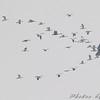 Snow Geese <br /> Riverlands Migratory Bird Sanctuary