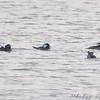 Hooded Merganser <br /> Teal Pond <br /> Riverlands Migratory Bird Sanctuary