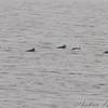 Bufflehead  <br /> Ellis Bay <br /> Riverlands Migratory Bird Sanctuary