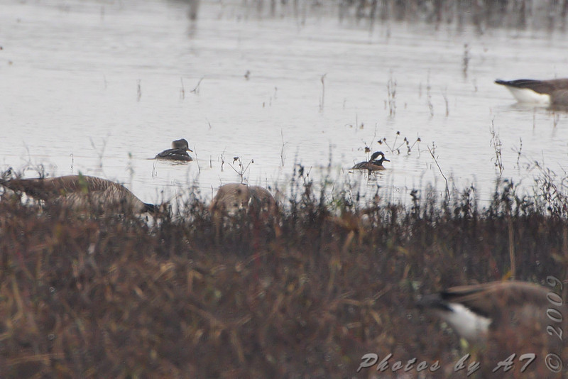 Hooded Merganser <br /> Below spillway <br /> Riverlands Migratory Bird Sanctuary