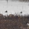 Hooded Merganser <br /> Below spillway <br /> Riverlands Migratory Bird Sanctuary