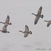 Canada Geese  <br /> Heron Pond <br /> Riverlands Migratory Bird Sanctuary