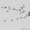 Snow Geese <br /> Riverlands Migratory Bird Sanctuary