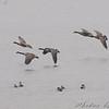 Canada Geese  <br /> Heron Pond <br /> Riverlands Migratory Bird Sanctuaryry