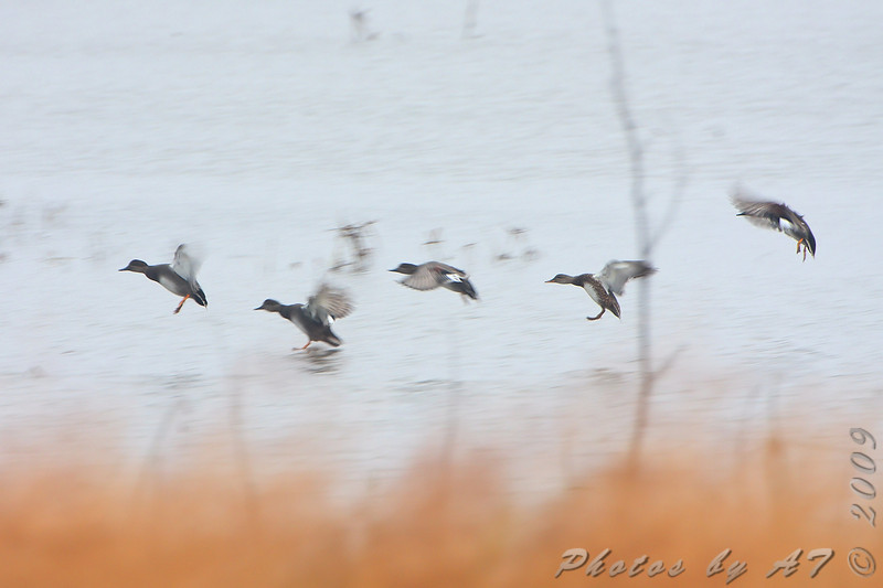 Gadwall  <br /> Heron Pond <br /> Riverlands Migratory Bird Sanctuary