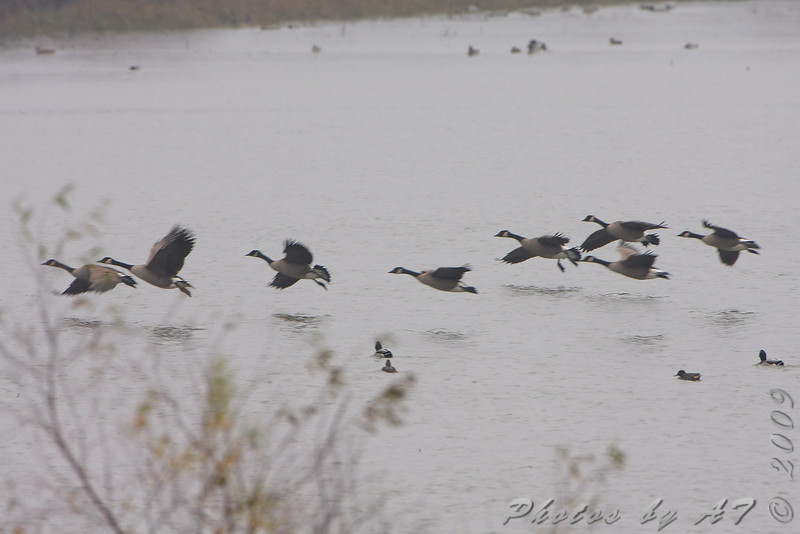 Canada Geese  <br /> Heron Pond <br /> Riverlands Migratory Bird Sanctuary