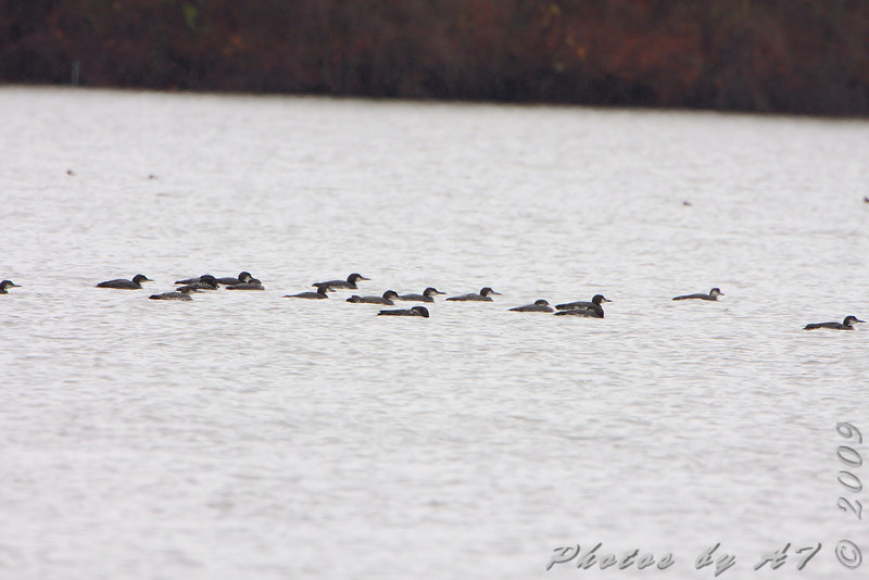 Common Loons <br /> Creve Coeur lake