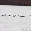 Common Loons <br /> Creve Coeur lake