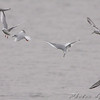 Bonaparte's Gulls <br /> Teal Pond <br /> Riverlands Migratory Bird Sanctuary