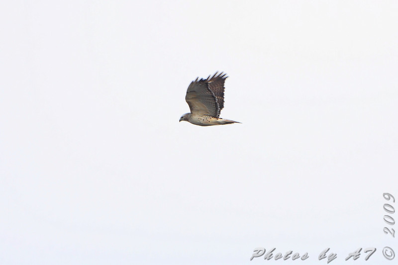 Red-tailed Hawk <br /> Portage Des Sioux