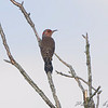 Northern Flicker  <br /> Busch Wildlife Conservation Area