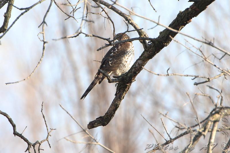 Cooper's Hawk <br /> Portage Des Sioux