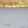 Common Loon <br /> Viewed from Lake 35 Boat ramp area <br /> Busch Wildlife Conservation Area