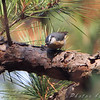 Red-breasted Nuthatch   <br /> Fallen Oak Trial <br /> Busch Wildlife Conservation Area
