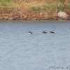 Hooded Mergansers <br /> Lake 33 <br /> Busch Wildlife Conservation Area