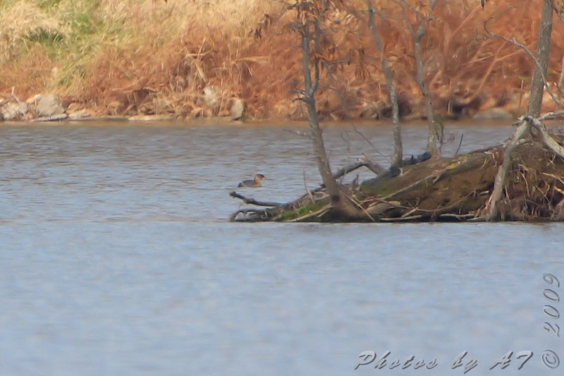 Pied-billed Grebe <br /> Lake 33 <br /> Busch Wildlife Conservation Area