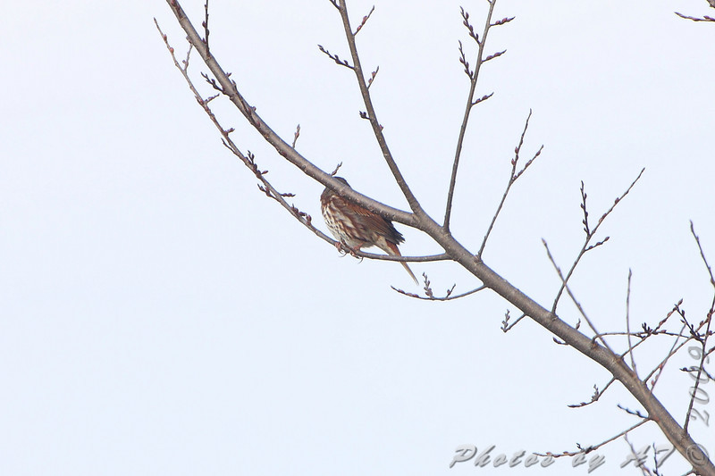 Fox Sparrow <br /> From Lake 35 <br /> Busch Wildlife Conservation Area
