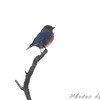 Eastern Bluebird  <br /> Hampton Lake <br /> Busch Wildlife Conservation Area
