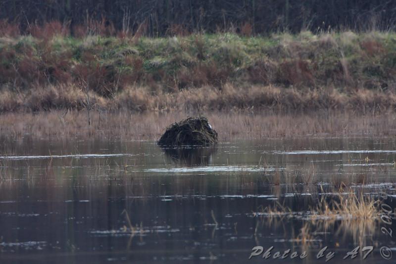 Muskrat Lodge <br /> Lake 33 Wetlands <br /> Busch Wildlife Conservation Area