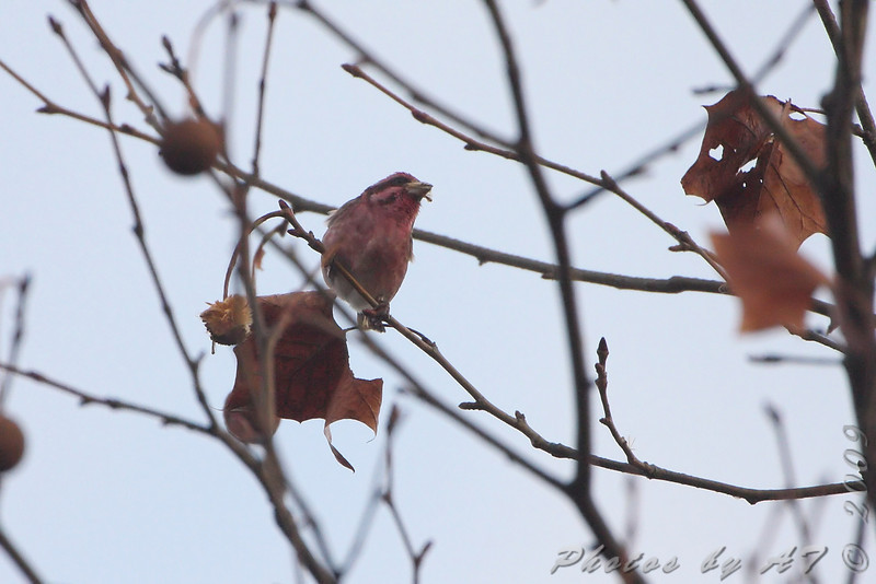 Purple Finch <br /> Hampton Lake <br /> Busch Wildlife Conservation Area