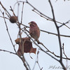 Purple Finch <br /> Hampton Lake <br /> Busch Wildlife Conservation Area