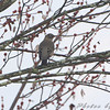 American Robin  <br /> Hampton Lake <br /> Busch Wildlife Conservation Area