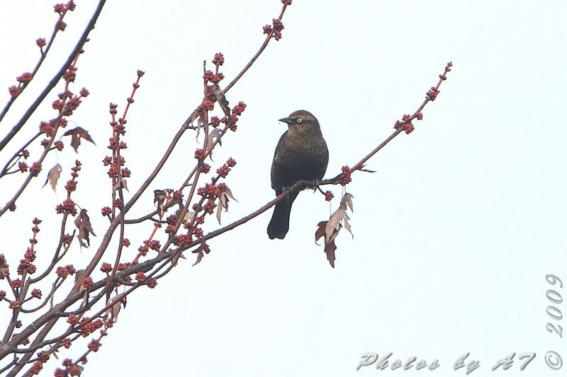 Rusty Blackbird  <br /> Hampton Lake <br /> Busch Wildlife Conservation Area