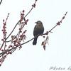 Rusty Blackbird  <br /> Hampton Lake <br /> Busch Wildlife Conservation Area