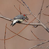 Red-bellied Woodpecker <br /> Portage Des Sioux
