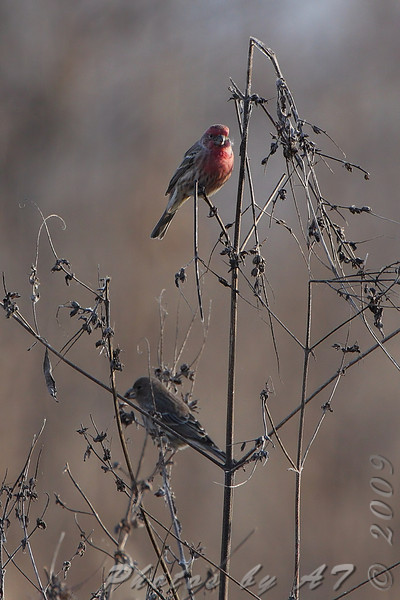 House Finches  <br /> Portage Des Sioux