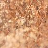 American Tree Sparrow <br /> Portage Des Sioux