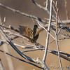 Lincoln's Sparrow <br /> Portage Des Sioux