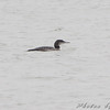 Common Loon <br /> Teal Pond <br /> Riverlands Migratory Bird Sanctuary