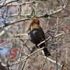 Rusty Blackbird <br /> Portage Des Sioux